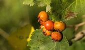 Hawthorn berries — Stock Photo
