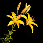 Lily — Photo