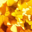 Maple leaves — Stock Photo #58689847