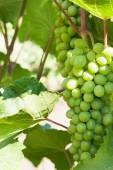 Grapevine — Stockfoto