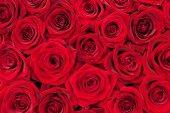Red roses — Zdjęcie stockowe