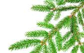 Green fir — Stock Photo