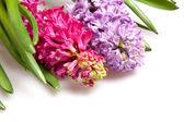 Two  hyacinths — Stock Photo