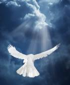 Dove in the air with wings wide open — Stock Photo