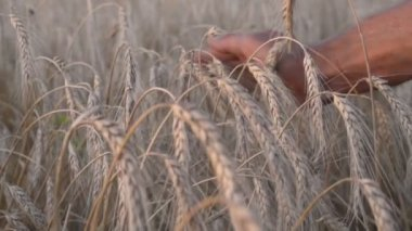 Hand in ripening ears of golden wheat — Stock Video