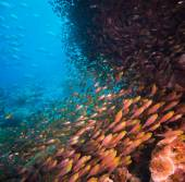 Shoal or school of tropical fish — Stock Photo