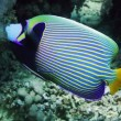 Emperor Angelfish on Coral Reef — Stock Video #57530591
