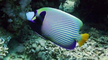 Emperor Angelfish on Coral Reef — Stock Video