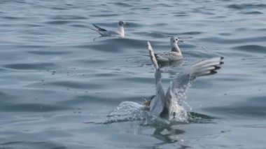 Seagulls landing and taking off from sea — Stock Video