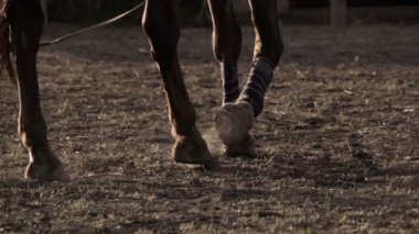 Horse wearing leg bandages — Stock Video