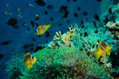 Clown fish with its young in the anemone site — Stock Photo