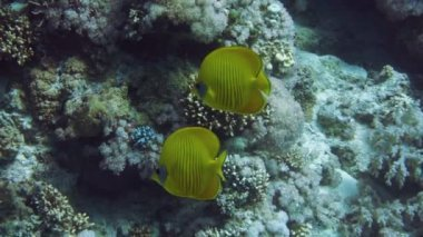 Yellow Masked Butterflyfish — Stock Video