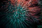 Poisonous crown of thorns sea star (Acanthaster plancii, echinoderm) — Stock Photo