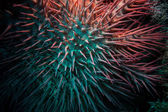 Poisonous crown of thorns sea star (Acanthaster plancii, echinoderm) — Foto de Stock