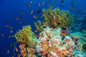 Tropical Anthias fish with net fire corals — Stock Photo
