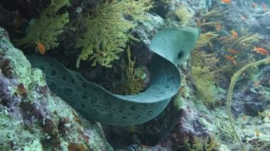Giant Morey Eel in the Red Sea — Stock Video