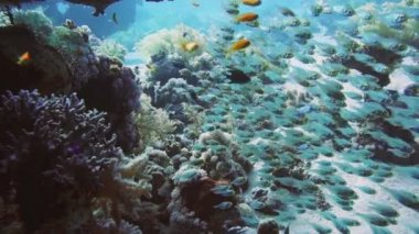 Shoal of Glassfish  in  Red Sea — Stock Video