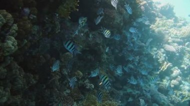The big school of the Indo.Pacific sergeant (Abudefduf vaigiensis) in the middle of the beautiful blue water — Stock Video
