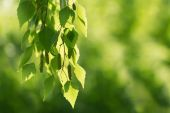 Birch green leaves close-up. Selective focus. — Stock Photo