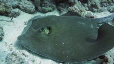 Feathertail stingray in Red Sea — Stock Video