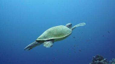 Hawksbill Turtle in  Red Sea — Vídeo de stock