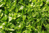 Thick green ivy leaves background — Stock Photo