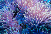 Clownfish and anemone on a tropical coral reef — Stock Photo