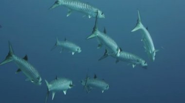 Barracudas in blue water a Red Sea, — Stock Video
