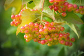 Mountain ash. Rowan-tree. The fruits of mountain ash — Stock Photo