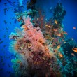 Tropical Anthias fish with net fire corals — Stock Photo #61962351