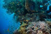 Тропические anthias ловят рыбу с чистыми кораллами огня — Стоковое фото