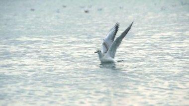 Seagulls in sea — Stock video