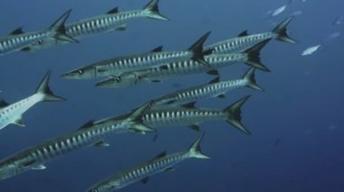 School of Barracudas in  Red Sea — Stock Video