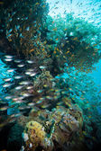 Shoal of Glassfish (Golden Sweepers) in clear blue water of the Red Sea — Stock Photo