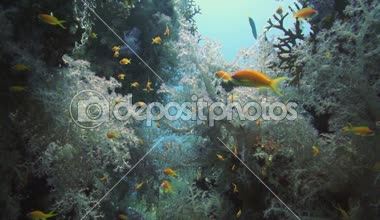 Tropical Anthias fish with net fire corals — Stock Video