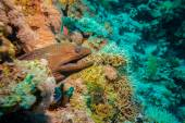 Giant Morey Eel in the Red Sea — Stock Photo