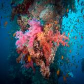 Vibrant pink soft coral (Dendronephthya hemprichi) — Stock Photo