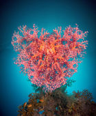 Valentine heart made of corals (Dendronephthya hemprichi) — Stock Photo