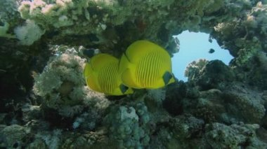 Vibrant yellow Masked Butterflyfish — Stock Video
