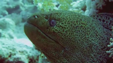 Giant Morey Eel  in Red Sea — Stock Video