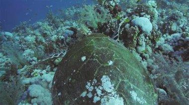 Hawksbill Turtle on  coral reef — ストックビデオ