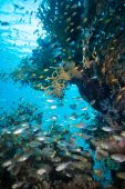 Shoal of Glassfish in Red Sea — Stock Photo