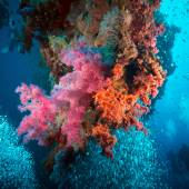 Vibrant pink soft coral — Stock Photo