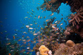 Shoal of Glassfish шт  Red Sea — Stock Photo