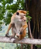 Monkey eating banana — Stock Photo