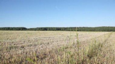 Field of grey dry grass — Stock Video