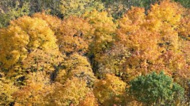 Yellowed foliage on trees — Stock Video