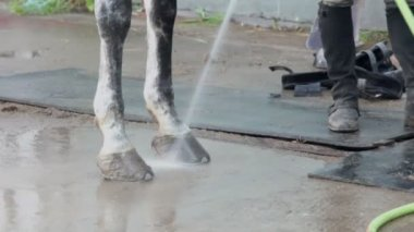 Man washes horse hoof — Stock Video