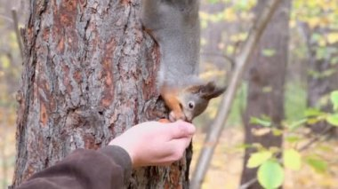 Squirrel takes nut from hand — Stock Video