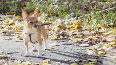 Chihuahua doggy — Stock Video